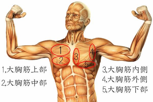 胸筋の各部位